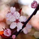 vyšnios ziedas